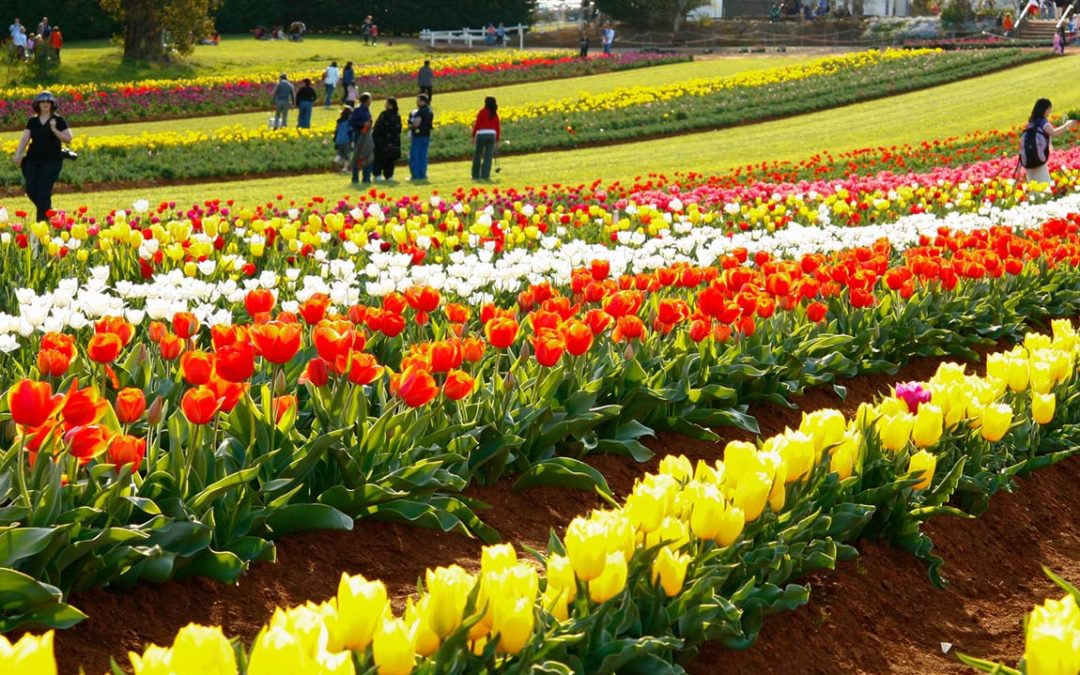 TESSELAAR TULIP FESTIVAL AND THE DANDENONGS TOUR